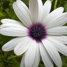 The shades by Ashwathi Madhavan - Flowers Single Flower ( nature, purple, white, close up, flower,  )