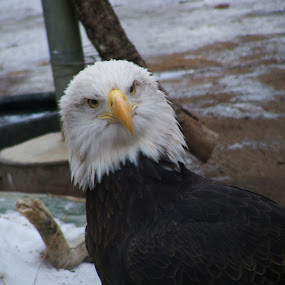 Eagle Staring From the Front by Jacob Woolwine - Animals Birds ( beak, bald eagle, feathers, birds, eyes )