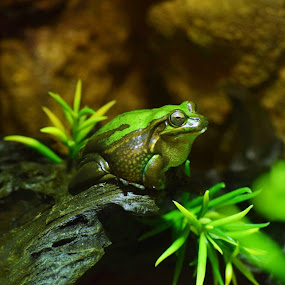 Green tree frog portrait by Amanda Daly - Novices Only Wildlife (  )