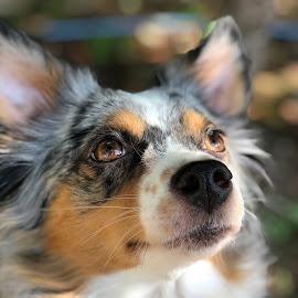 Pepper by Elizabeth Herman - Animals - Dogs Portraits ( cute australian shepherd )