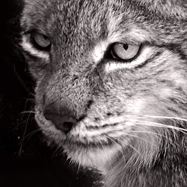 by Fernando Ale - Animals - Cats Portraits
