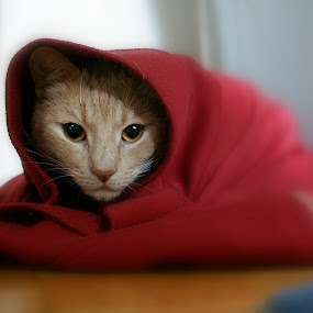 Little Red Riding Hood by Branka Radmanić - Animals - Cats Portraits ( rorry, cat, animals, pet, gently, my, women, lady, red, #GARYFONGPETS, #SHOWUSYOURPETS,  )