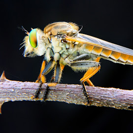 Robberfly by Tegas Santosa - Instagram & Mobile Android