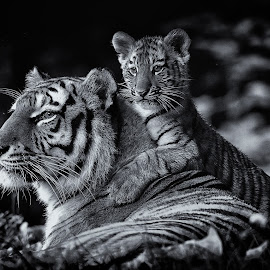 Mother by KC Arena - Animals Lions, Tigers & Big Cats