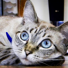 Blue Eyes  by Angela Taya - Novices Only Pets
