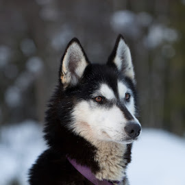 Husky 3 by Waldemar Dorhoi - Animals - Dogs Portraits ( husky, dog )