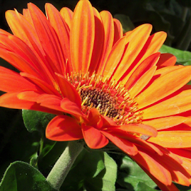 Sun Streaked Orange by Cheryl Beaudoin - Flowers Single Flower ( orange, macro, single flower, yellow, flower, sun streaked,  )