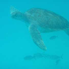 At a turtles pace by Amber O'Hara - Animals Sea Creatures ( water, barbados, blue, underwater, sea turtle, fish )