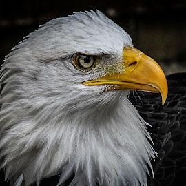 Wotan by Garry Chisholm - Animals Birds ( bird, eagle, nature, wildlife, prey, raptor )