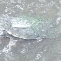 Florida Snapping Turtle?