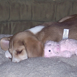 worn out puppy by Sandy Stevens Krassinger - Animals - Dogs Puppies ( toy, puppy, sleeping, dog, animal,  )