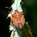 Mediterranean Shield Bug