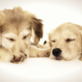 sleep by Ditte Foto - Animals - Dogs Portraits ( studio, puppies, dogs, sleepy, sleeping, small dog )