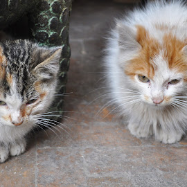 The Strays of Marrakesh by Jamie Tambor - Animals - Cats Kittens ( cats, marrakech, northern africa, marrakesh, kittens, morocco, africa, strays )
