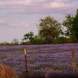 Bluebonnet field by Brenda Shoemake - Landscapes Prairies, Meadows & Fields