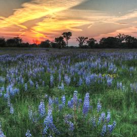 Prairie Lupines by Jill Beim - Landscapes Prairies, Meadows & Fields ( wildflowers, lupines, sunset, landscape, prairie,  )