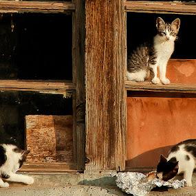 by Mladjan Pajkic - Animals - Cats Portraits
