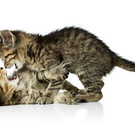 kitten play by Eric Christensen - Animals - Cats Kittens ( two, fight, play, kittens, tabby )
