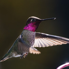 by Jeremy Lanthorn - Animals Birds ( bird, california, wildlife, lewiston lake, humming bird, pine cove marina )