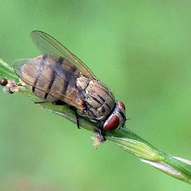 House fly by Pradeep Kumar - Animals Insects & Spiders