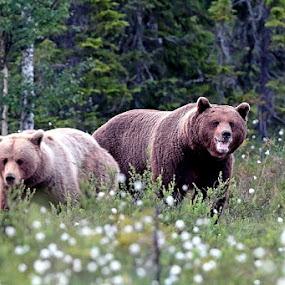 KEEP DISTANCE by Zoritza  Wejnfalk - Animals Other ( bear, bears, couple, zoritza, flowers, woods, wejnfalk )