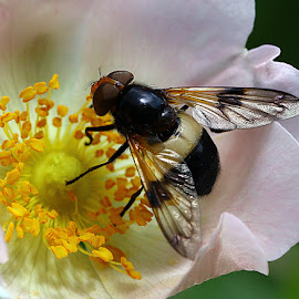 Feeding Hoverfly by Chrissie Barrow - Animals Insects & Spiders ( stigma, wild, yrellow, stamens, petals, white, antennae, insect, eyes, hoverfly, macro, wings, dog rose, pink, legs, black, flower, animal )