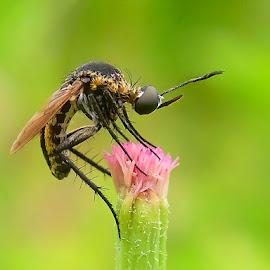 Toxophora Amphitea by Rama Smookerr - Instagram & Mobile Other ( macro nusantara, macro photography, macro x, macro nature, macro insects, 1001 macro,  )