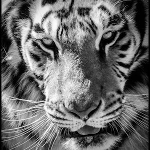 Tiger-83.jpg