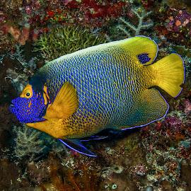 yellow-mask angelfish by Peter Schoeman - Animals Fish ( animals, underwater, fish, indonesia, mask, ocean, yellow, angelfish, diving )