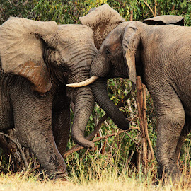 The fight is on! by Dricus Bosman - Animals Other Mammals ( flapping ears, fight, elephant, tusk, bull )