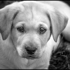 Yellow Lab by Dave Lipchen - Black & White Animals ( yellow lab )