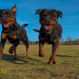 Rottweilers and Pug by Jenny Trigg - Animals - Dogs Running ( puppy, dog, running, pug, rottweiler )