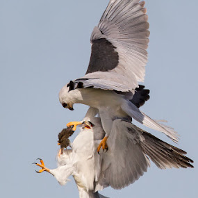 Here you go hon... by Phoo (mallardg500) Chan - Animals Birds ( raptor, white-tailed kite )