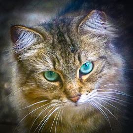 Honey Blue by Alycia Marshall-Steen - Animals - Cats Portraits