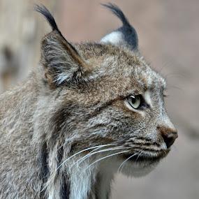 Lynx by Amanda Koenigs - Animals Lions, Tigers & Big Cats
