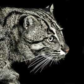 Fish Cat by Elke Krone - Animals - Cats Portraits ( cat, fish cat, tierportrait, black )