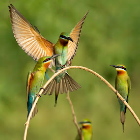 BLUE TAILED BEE EATER by Subramanniyan Mani - Animals Birds ( nature, action, wildlife, birds, blue tailed bee eater )