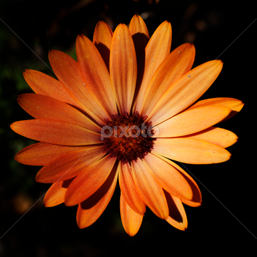 Daisy by Cristobal Garciaferro Rubio - Nature Up Close Flowers - 2011-2013 ( petal petals, daisies, daisy, flowers, flower )