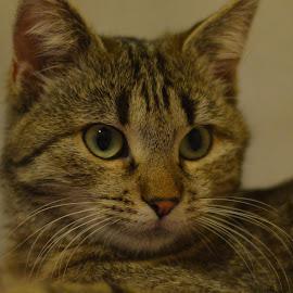 Suzico by Carmen-Laura B - Animals - Cats Portraits ( face, cat, indoor, pet, cute, eyes )