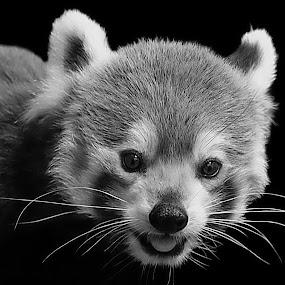 Red Panda B&W by Shawn Thomas - Black & White Animals
