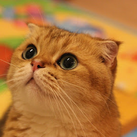 by Irina Newara - Animals - Cats Portraits ( look, cat, colorful, scottish fold )