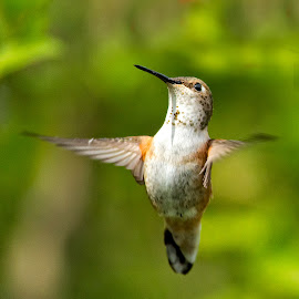 Rufous Hummingbird by Sheldon Bilsker - Animals Birds ( bird, hummingbird )