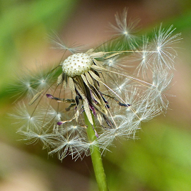 by Laura Payne - Nature Up Close Other plants ( plant, safe, clock, green, seed, harbour, weed, hold, white, star, shuttle, cushion, still, hang, flight, time, dandelion, pin, stem, head, tight )