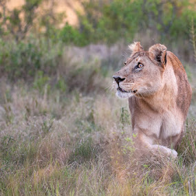 Deadly stare by Brendon Cremer - Animals Lions, Tigers & Big Cats ( big cat, botswana, lion, cat, nature, lioness, wildlife, africa )