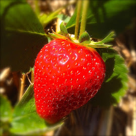 Strawberry by Donna Racheal - Nature Up Close Gardens & Produce ( fruit, food,  )