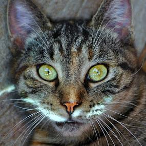 BarnCat3- by B Lynn - Animals - Cats Portraits ( cats., animal., meow., felines., mammal.,  )