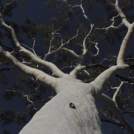 Gum Tree by Rebecca Pollard - Nature Up Close Trees & Bushes