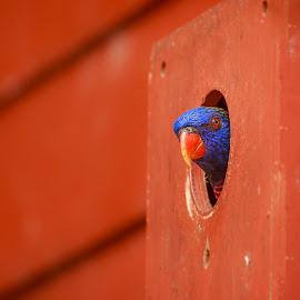 Pick A Boo by Rananjay Kumar - Animals Birds ( pick a boo, closeup, bird, canon70d, nest, birds, wild, colors, canon )