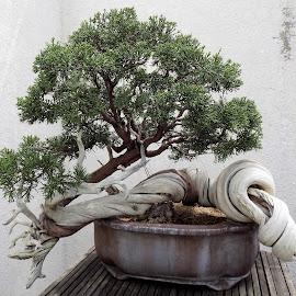 Bonsai tree by Mary Gallo - Nature Up Close Trees & Bushes ( tree, nature up close, bonsai )
