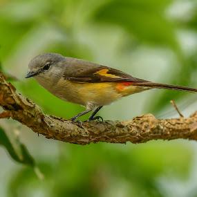 Small minivet by Maroof Rana - Animals Birds ( nature, wildlife, pericrocotus cinnamomeus, small minivet, passerine bird )